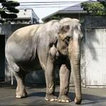 250px-Elephas_maximus_bengalensis_hanako